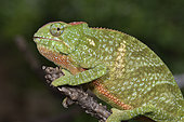 Two-horned chameleon (Furcifer bifidus) female, Andasibe, Périnet, Région Alaotra-Mangoro, Madagascar