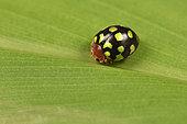 Ladybug (Coccinellidae), Andasibe, Périnet, Région Alaotra-Mangoro, Madagascar