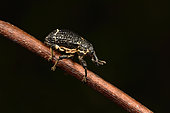Weevil (Curculionidae sp) on a branch, Andasibe, Périnet, Région Alaotra-Mangoro, Madagascar