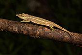 Nose-horned Chameleon (Calumma nasutum) male, Andasibe, Périnet, Région Alaotra-Mangoro, Madagascar