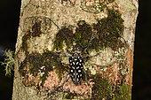 Stellognathie tachetée (Stellognatha maculata) sur l'écorce d'un arbre, Andasibe, Périnet, Région Alaotra-Mangoro, Madagascar
