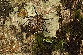 Forest Bug (Mennia sp) on the bark of a tree,, Andasibe, Périnet, Région Alaotra-Mangoro, Madagascar