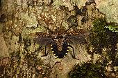 Forest Bug (Mennia sp) in flight position on the bark of a tree,, Andasibe, Périnet, Région Alaotra-Mangoro, Madagascar