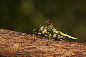Northern Devil's Pygmy Grasshopper (Holocerus devriesei) on a branch, Andasibe, Périnet, Région Alaotra-Mangoro, Madagascar