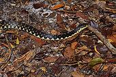 Couleuvre malgache (Leioheterodon madagascariensis) en forêt tropicale, Canal des Pangalanes, Lac Ampitabe, Région Atsinanana, Madagascar