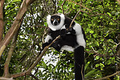 Ruffed lemur (Varecia variegata) in the forest, Pangalanes Canal, Ampitabe Lake, Atsinanana Region, Madagascar