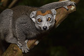 Crowned lemur (Eulemur coronatus) female in the forest, Pangalanes Canal, Ampitabe Lake, Atsinanana Region, Madagascar