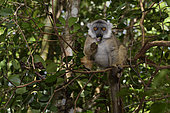 Brown lemur (Eulemur fulvus) eating in the forest, Pangalanes Canal, Ampitabe Lake, Atsinanana Region, Madagascar