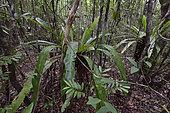 Fougère nid-d'oiseau (Asplenium nidus) en forêt tropicale, Canal des Pangalanes, Lac Ampitabe, Région Atsinanana, Madagascar