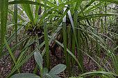 Pandanus (Pandanus sp) en forêt tropicale, Canal des Pangalanes, Lac Ampitabe, Région Atsinanana, Madagascar
