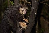 Aye-aye (Daubentonia madagascariensis) in the forest at night, eating a coconut, Pangalanes Canal, Ampitabe Lake, Atsinanana Region, Madagascar