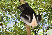 Indri (Indri indri) in the forest, Pangalanes Canal, Ampitabe Lake, Atsinanana Region, Madagascar