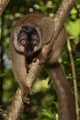 Brown lemur (Eulemur fulvus) in the forest, Pangalanes Canal, Ampitabe Lake, Atsinanana Region, Madagascar