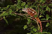 Panther Chameleon (Furcifer pardalis) male in a tree, Pangalanes Canal, Ampitabe Lake, Atsinanana Region, Madagascar