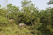 A team from the Biodiversity Conservation Center on an elephant following a Greater One-horned Rhino (Rhinoceros unicornis) in the forest, Chitwan National Park, Nepal