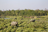 Walking tourists and elephant riding watching 2 Greater One-horned Rhinos (Rhinoceros unicornis) in the grassland, Chitwan National Park, Nepal