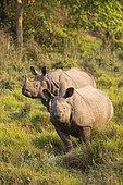 Greater One-horned Rhino (Rhinoceros unicornis) two in the grassland, Chitwan National Park, Nepal