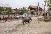 A young Greater One-horned Rhino (Rhinoceros unicornis) walking in the street of Sauraha surrounded by curious and unconscious tourists, Chitwan National Park, Nepal