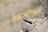 Bare-faced ground dove (Metriopelia ceciliae) on rock, Putre, XV Region of Arica and Parinacota, Chile