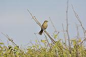 Slender-billed Finch (Xenospingus concolor), Rio Lluta River Wetland, Arica, XV Arica and Parinacota Region, Chile