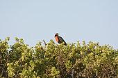 Peruvian meadowlark (Leistes bellicosus), Rio Lluta River Wetland, Arica, XV Arica and Parinacota Region, Chile