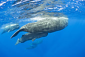 Pod of sperm whale with mother and calf, (Physeter macrocephalus), Vulnerable (IUCN), The sperm whale is the largest of the toothed whales. Sperm whales are known to dive as deep as 1,000 meters in search of squid to eat. Image has been shot in Dominica, Caribbean Sea, Atlantic Ocean. Photo taken under permit n°RP 16-02/32 FIS-5.