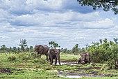 Eléphant d'Afrique (Loxodonta africana) prenant un bain de boue, parc national Kruger, Afrique du Sud