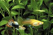 Guppy (Poecilia reticulata), couple in aquarium