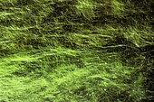 Thread algae in aquarium