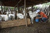 Young man milking a goat (Capra hircus aegagrus), Caladinho, Uaua, Bahia, Brazil, South America