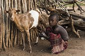 Little boy milking goat, Hamer tribe, Turmi, region of the southern nations, Ethiopia, Africa
