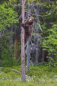 Ourson (Ursus arctos) grimpant dans un arbre, près d'une forêt de Suomussalmi, Finlande