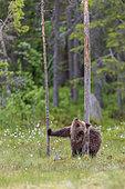 Ourson (Ursus arctos) jouant contre un tronc d'arbre, près d'une forêt de Suomussalmi, Finlande