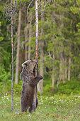 Ourson (Ursus arctos) léchant un tronc d'arbre, près d'une forêt de Suomussalmi, Finlande