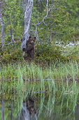 Ourson (Ursus arctos) près d'un étang, près d'une forêt de Suomussalmi, Finlande