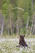 Bear cub (Ursus arctos) watching a black-headed gull in the middle of the cottongrass near a forest in Suomussalmi, Finland
