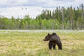 Brown Bear (Ursus arctos) in a peat bog, near a Suomussalmi forest; Finland