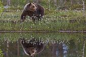 Brown Bear (Ursus arctos) near a pond, in a Suomussalmi forest, Finland