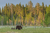 Brown Bear (Ursus arctos) female, with her cubs, in a bog, with coton grass, near a forest in Suomussalmi, Finland