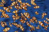 Ocellaris clownfish (Amphiprion ocellaris), group in aquarium