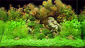 Aquascape with Cabomba furcata