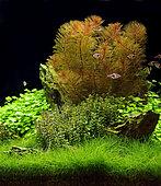 Aquascape with Cabomba furcata and Harlequin rasbora (Trigonostigma heteromorpha)