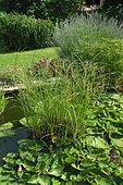 Garden pond, Nymphaea sp