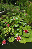 Garden pond with with Waterlilies (Nymphaea sp.)