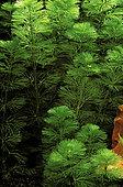 Carolina fanwort (Cabomba caroliniana) in aquarium