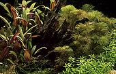Plante aquarium with Cabomba furcata (= piauhyensis)