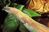 Freshwater moray (Gymnothorax tile) in aquarium