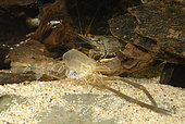 Exuvia of River prawn (Macrobrachium sp. 'Nigeria') in aquarium