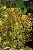 Hydrolythrum wallichii (syn. Rotala wallichii) in aquarium