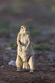 Cape ground squirrel (Xerus inauris), Private reserve, Upper Karoo, South Africa